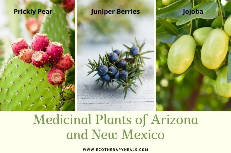 Medicinal plants of arizona and new mexico photo collage - prickly pear, juniper berries and jojoba