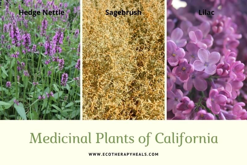Medicinal Plants of California collage - hedge nettle, california sagebrush and lilac