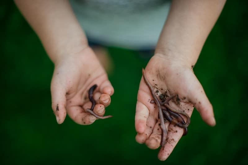 child holding worms in his hand freshly dug up from the dirt