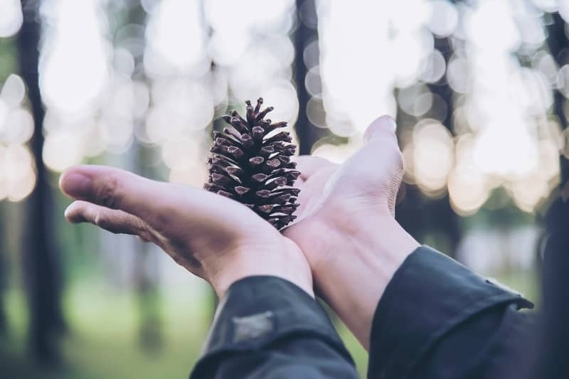 outstretched hands holding pinecone in the forest