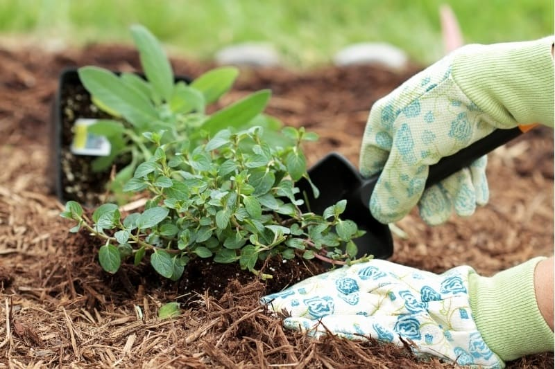 closeup of gardener planting oregano in mulch covered ground