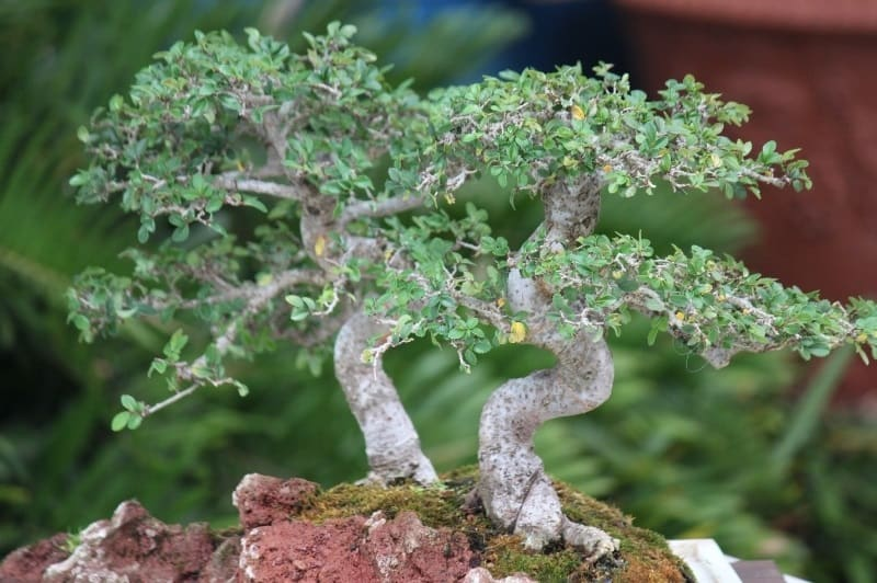 small bonsai tree growing in a container