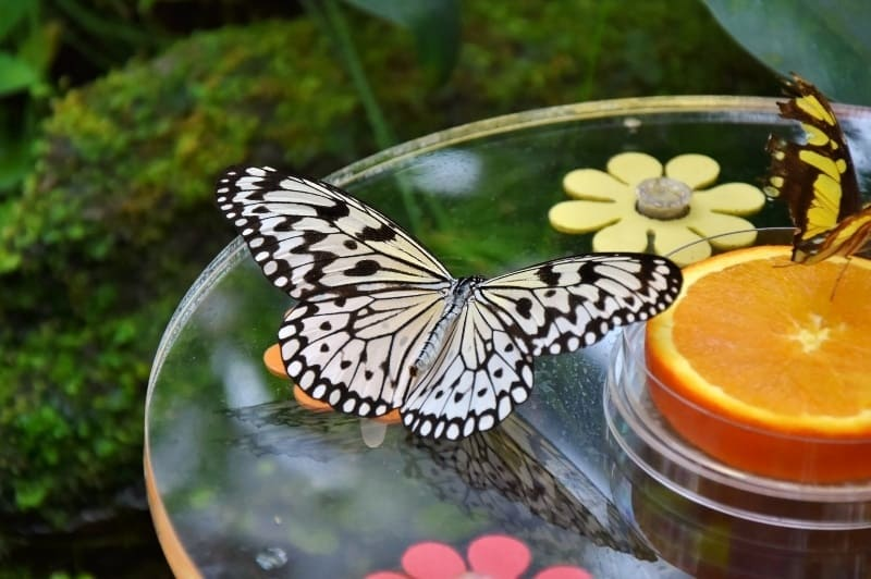 butterflies gathering in glass dish with oranges in the garden