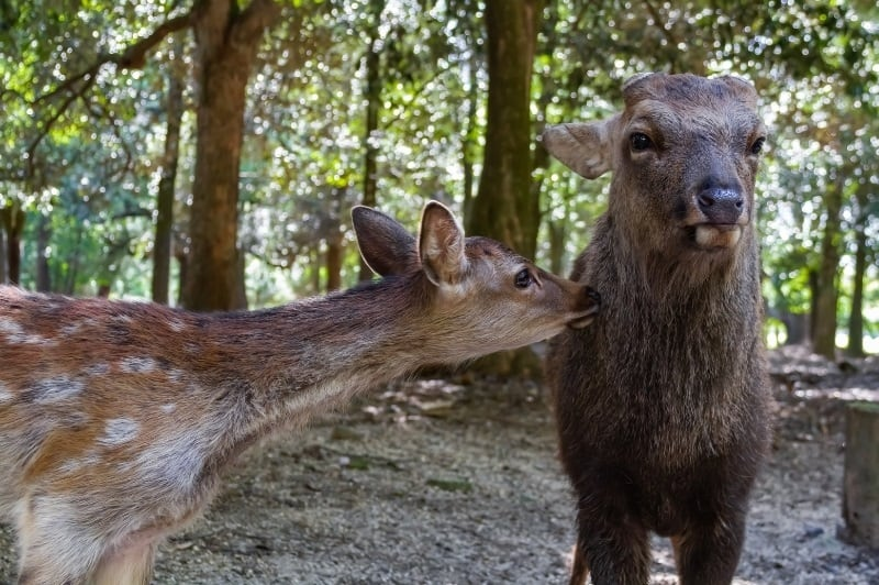 Deer in the Nara Prefecture, the capital of Japan