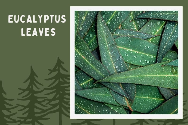 Eucalyptus tree leaves on forest background