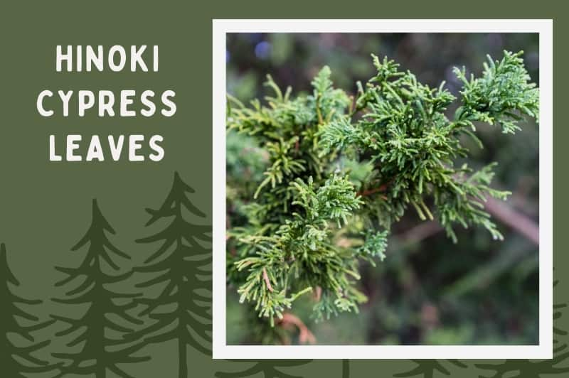 dwarf Hinoki Cypress tree leaves on forest background
