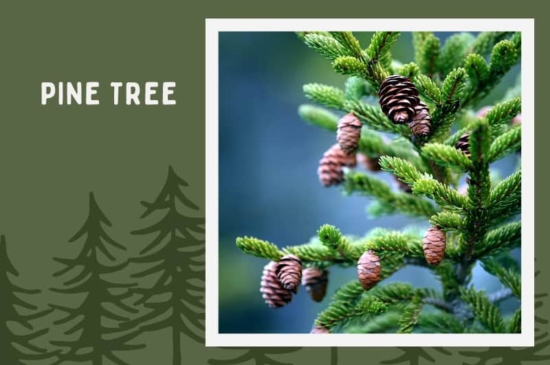pine tree with cones on forest background