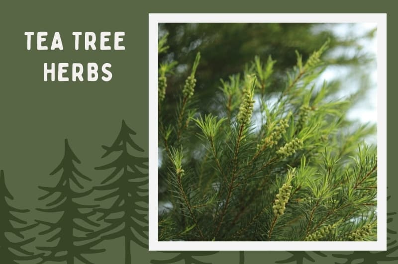 Tea tree herbs used to make tea tree oil on forest background
