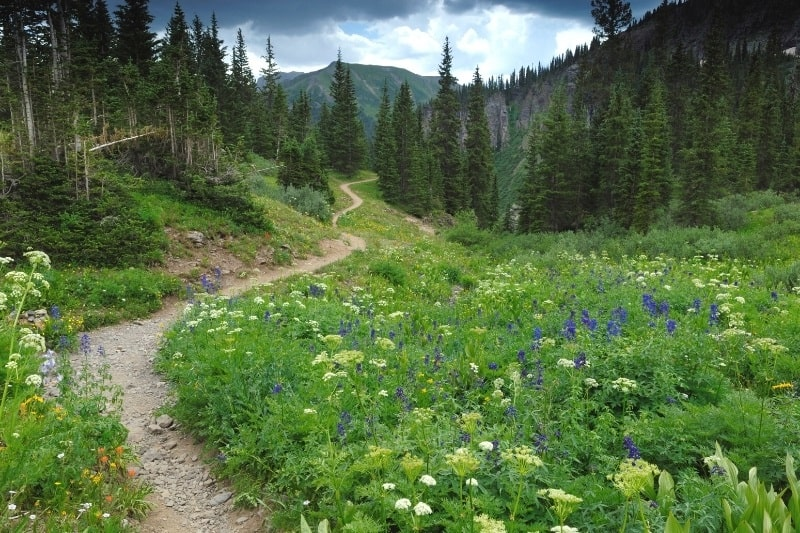 A path through the Colorado Rockies with Tall trees and Wildflowers